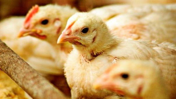 Zabranjen uvoz peradi, mesa i jaja