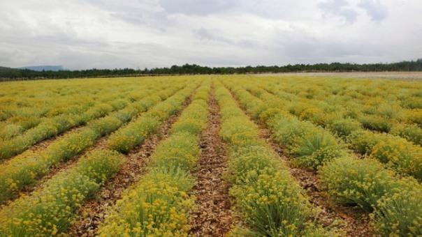 U Hercegovini niču plantaže smilja