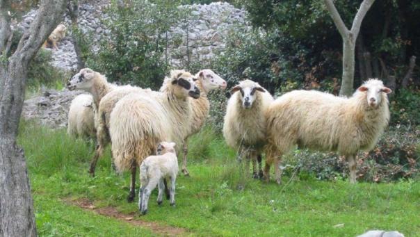 """Nema mjesta panici - oboljele ovce od """"plavog jezika"""" u boljem stanju"""