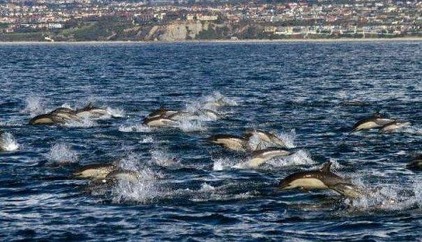 303810_delfini-kalifornija-ap_f