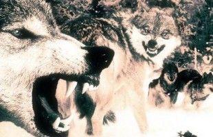 Момо Новокмет, познати херцеговачки ловац на вукове: Ни Тито није могао уловити ову звијер