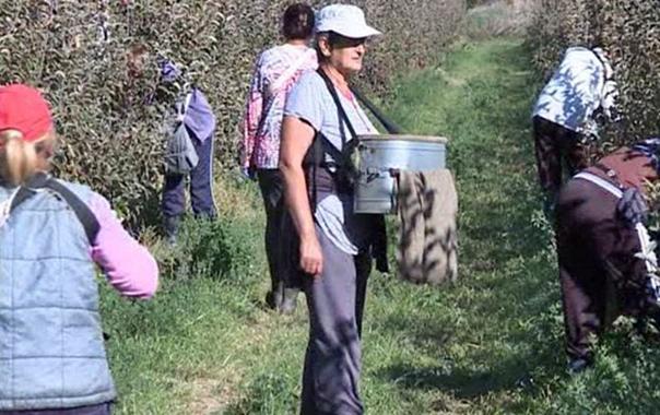 Попово поље - у току берба јабука (ВИДЕО)