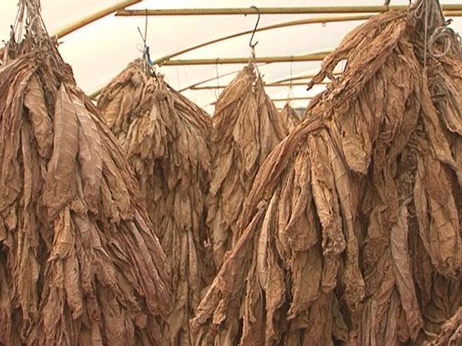 Послије 140 година традиције гаси се узгој дувана у Љубињу
