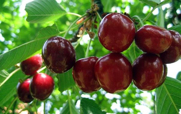 Najava: Radionica i predavanje o uzgoju trešanja
