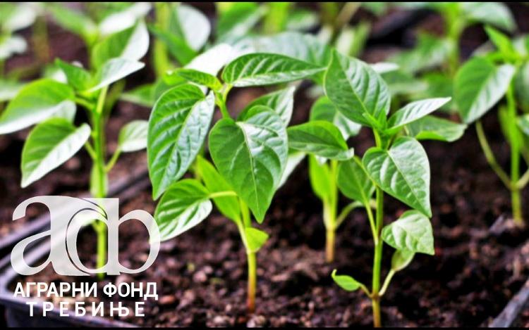 Аграрни фонд: Јавни позив за ДОДЈЕЛУ РАСАДА ПАПРИКЕ И ПАРАДАЈЗА