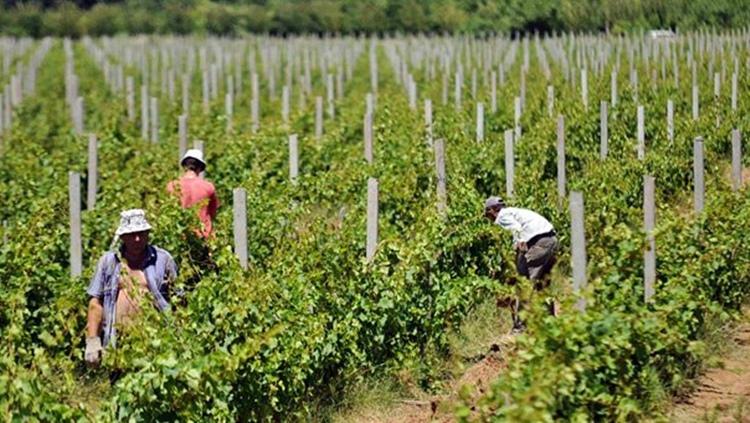 vinogradi.jpg (189 KB)