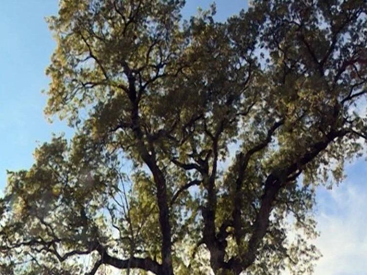 Legenda o zelenom hrastu živi i danas (VIDEO)